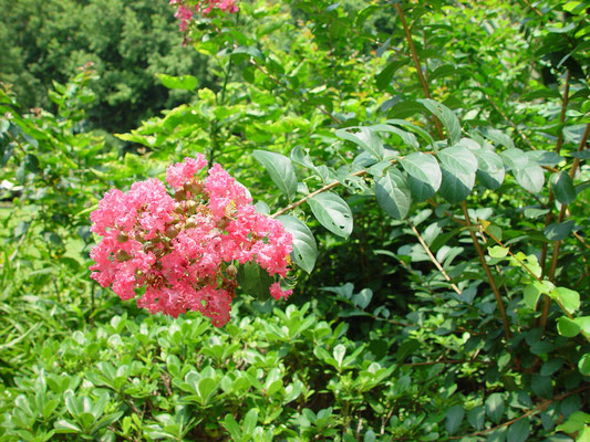 Largerstroemia indica, (Crape Myrtle)、サルスベリ、漢名「紫薇」