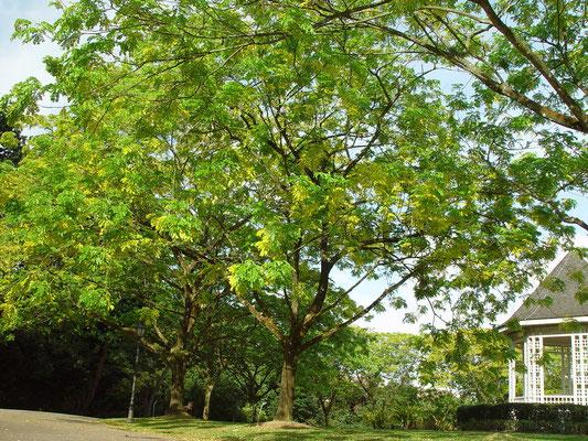 The Yellow Rain Tree, 中米から渡来した Rain Tree のいくつかが黄色く育ったとのこと