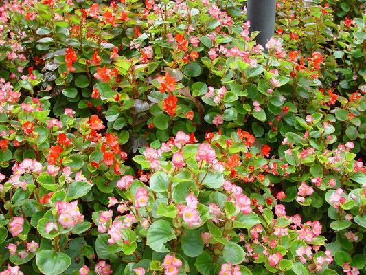 - Begonia semperflorens -  学名からは日本名シキザキベコニア