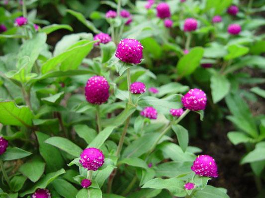 - Gomphrena globosa - - 百日紅 -  学名で引くとセンニチソウ(センニチコウ属)、漢名千日紅