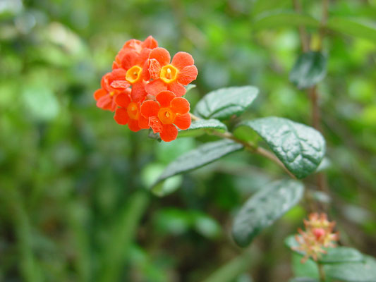 Rondeletia odorata (Fragrant Rondeletia)、ベニマツリ、漢名「郎徳木」