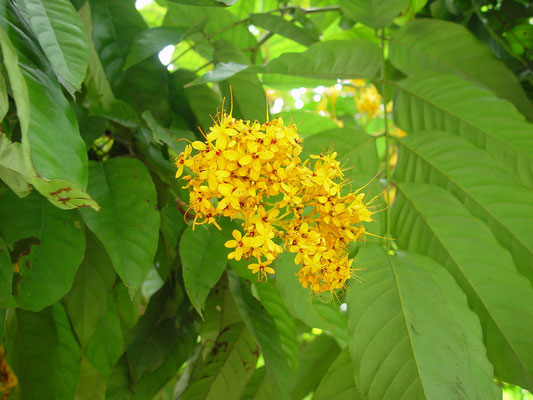 Saraca thaipingensis, Yellow saraca / Leguminosae, Indoch., pen. Malay., Java、キバナサラカ
