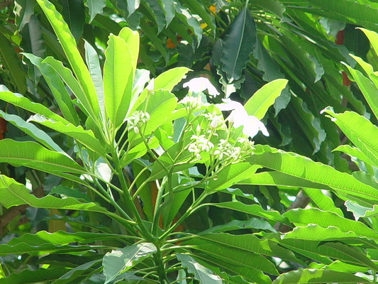 Cerbera manghus ミフクラギ