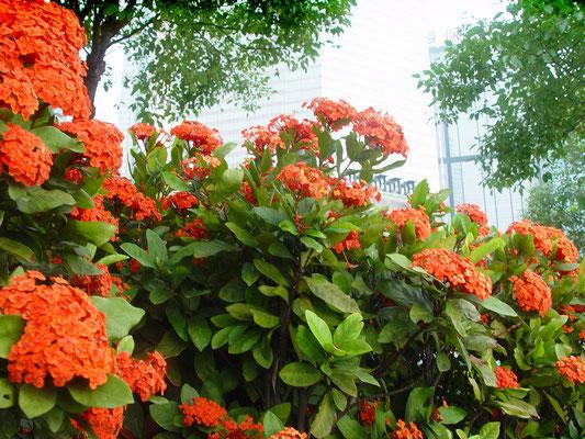 サンタンカ(山丹花) Ixora chinensis、別名:サンダンカ(三段花)、イクソラ