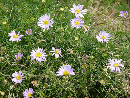 Brachyscome multifida - Cut-leaved Daisy