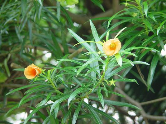 Thevetia peruviana 'Aurantica'、キバナキョウチクトウ、漢名「紅酒杯花」