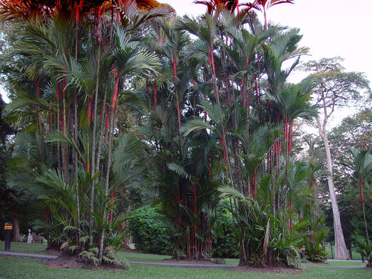Symbol Tree of Singapore Botanic Gardens, Sealing-Wax Palm Trees, local name: Lipstick Palm