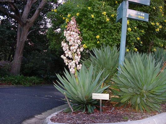 Yucca gloriosa var. superba - Superb Mound-Lily