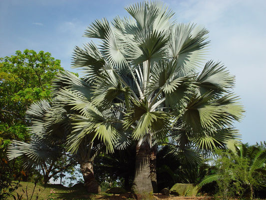 Bismarckia nobliis, Bismarck Palm / PALMAE, Madag.、ビスマルクヤシ