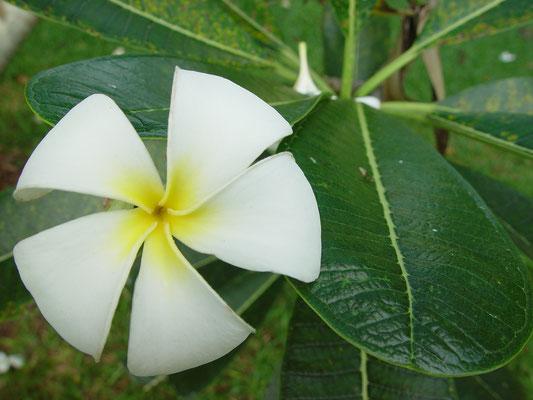 Plumeria obtusa,Frangipani