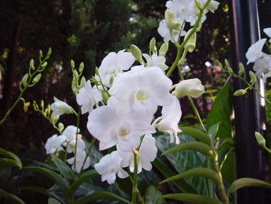 Dendrobium, Masako Kotaishi Hidenka
