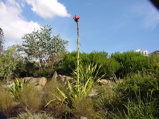 Doryathes excelsa - Gymea Lily