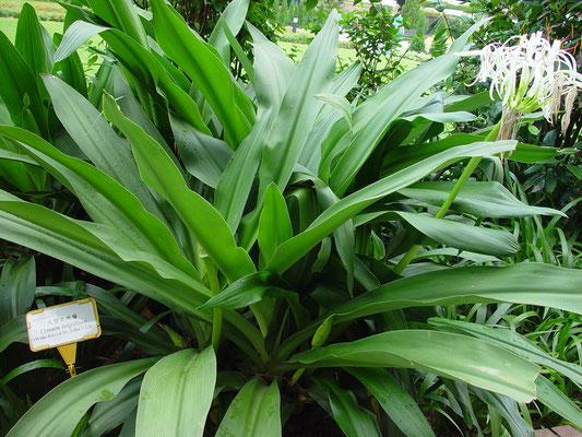 Crinum latiolium (Wide-leaved St. John's Lily)、インドハマユウ、漢名「大葉文殊蘭」