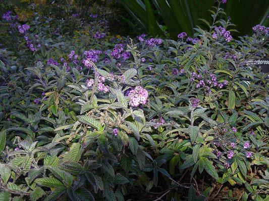 Heliotropium arborescens - ヘリオトープ