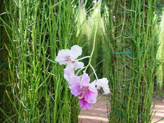 National Flower of Singapore, Vanda MISS JOAQUIM、国花バンダ・ミス・ジョアキム
