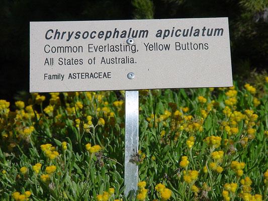 Chrysocephalum apiculatum - Common Everlasting, Yellow Buttons
