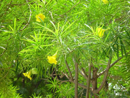 そこから、Mandarin Hotelのほうへ歩き、途中の公園(Charter Garden)で見かけた花。 木につるされた札では「黄花夾竹桃」となっていた。