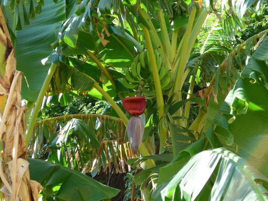 Le Bananier Site De Floredebalagne