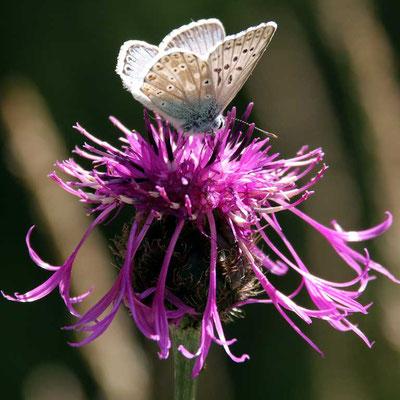 Flockenblume (Skabiose) mit Bläuling