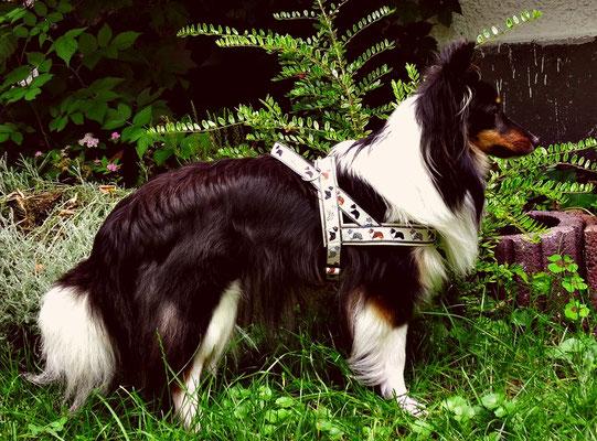 """Inkas """"Phoebe"""" mit ihrem Norwegergeschirr (Borte: Sheltie/Collie; Gurtband: 25 mm, grau; Unterlegung: Kunstleder, beige)"""