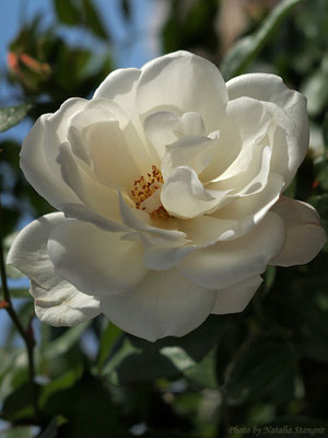 exquisite white rose. 12-2011