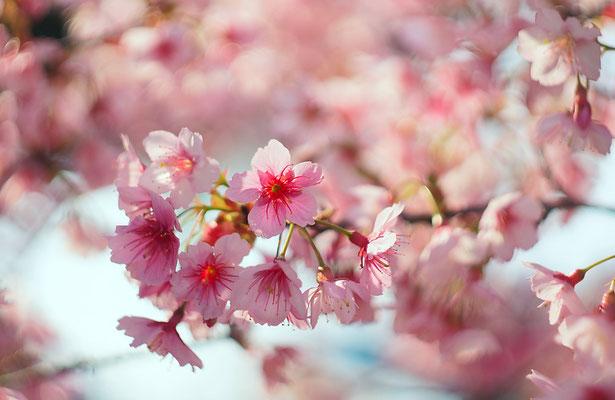 Sakura, 2014