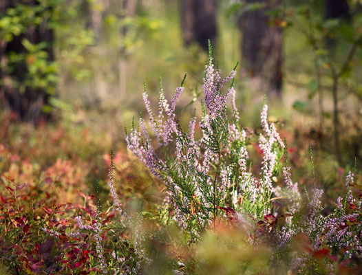 Heath forest 1. 08-2012