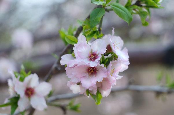 Blooming peach tree. 2014