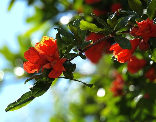 Branch of a flowering garnet,photo, 05-2011.