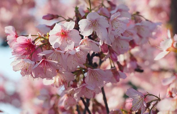 Sakura. 2014