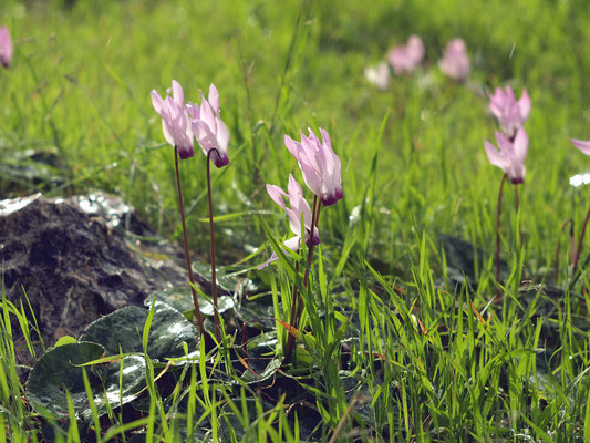 Forest blooming cyclamen,02-2012