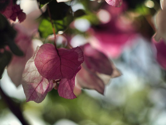 White-pink Bougainville. 04-2012