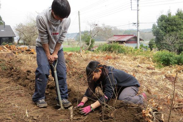 クヌギの木を植えます