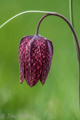 Schachbrettblume,     Fritillaria meleagris