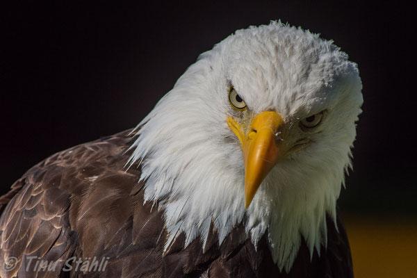 Weisskopfseeadler, Greifvogelpark Buchs SG