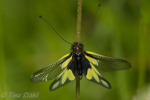 Libellen-Schmetterlingshaft,  Libelloides coccajus