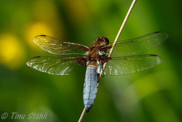 Plattbauch,  Libellula depressa, Männchen