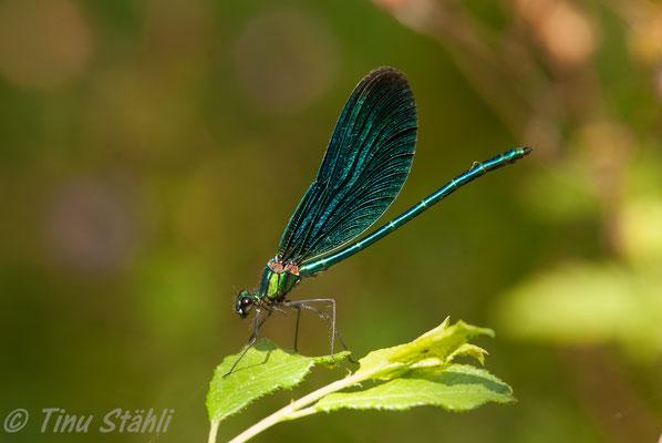 Blauflügel-Prachtlibelle,  Calopteryx virgo, Männchen