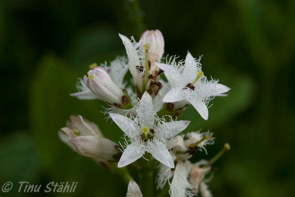 Fieberklee,    Menyanthes trifoliata