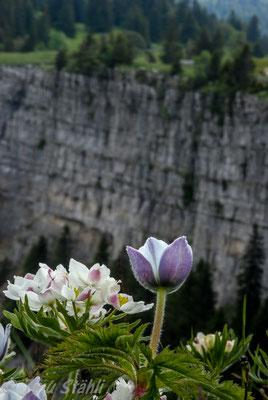 Narzissenblütige Anemone, Anemone narcissiflora  + Weisse Alpen-Anemone, Pulsatilla alpina alpina