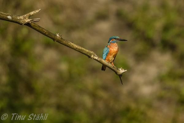Eisvogel,  Alcedo atthis, Männchen