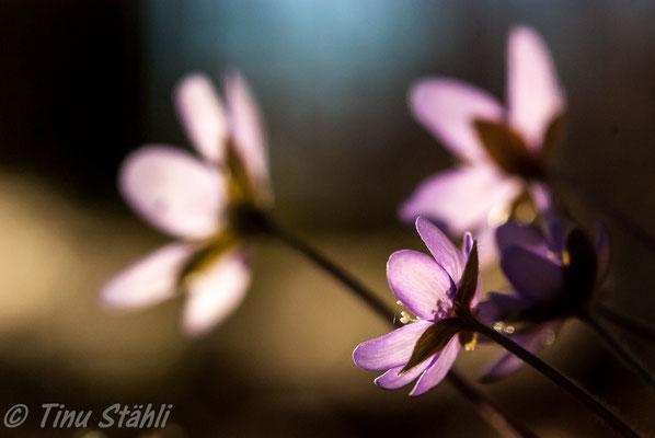Leberblümchen,    Hepatica nobilis