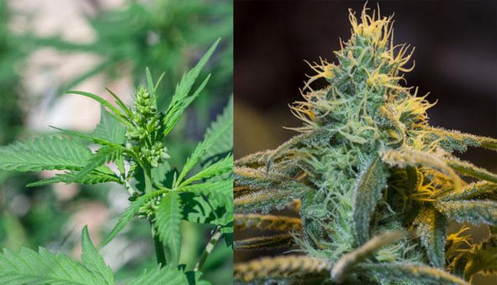 männliche und weibliche Cannabis Blüte