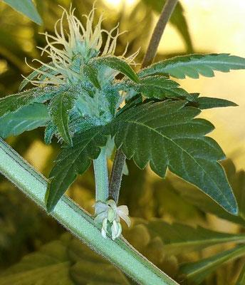 weibliche cannabis blüte mit männlicher cannabis blüte (zwitter)