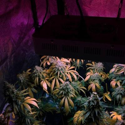 cannabis Anbau Indoor