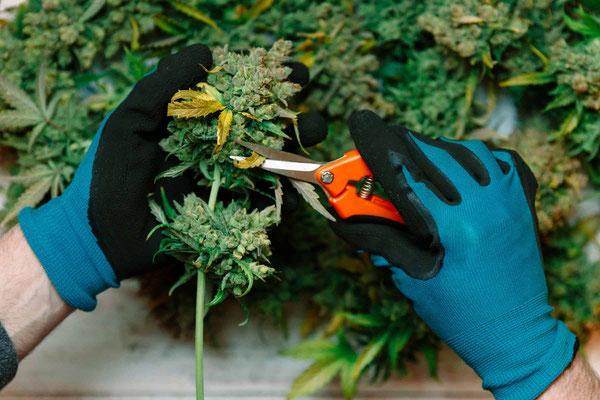 Wie ernte ich cannabis