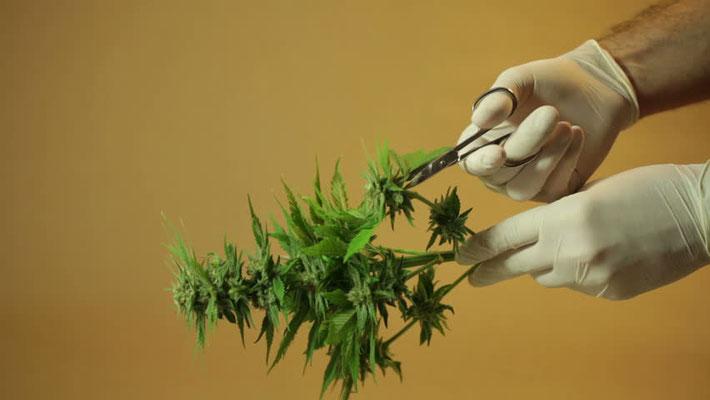 cannabis pflanzen schneiden 3