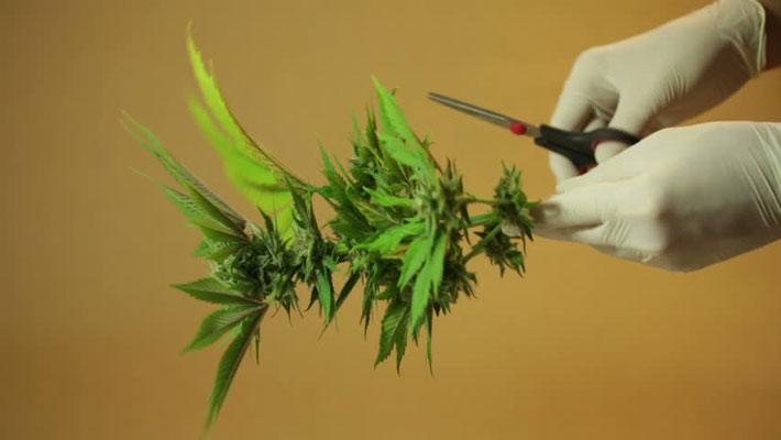 cannabis pflanzen schneiden 2