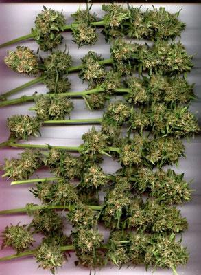 Fertig geerntete Cannabis Hanf Blüten bereit zum trocknen