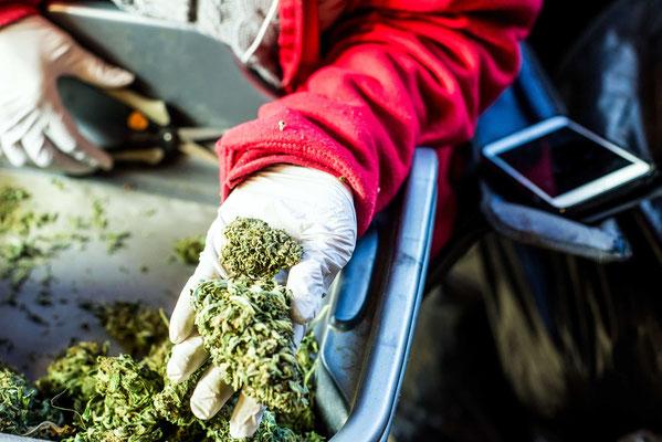 cannabis ernten